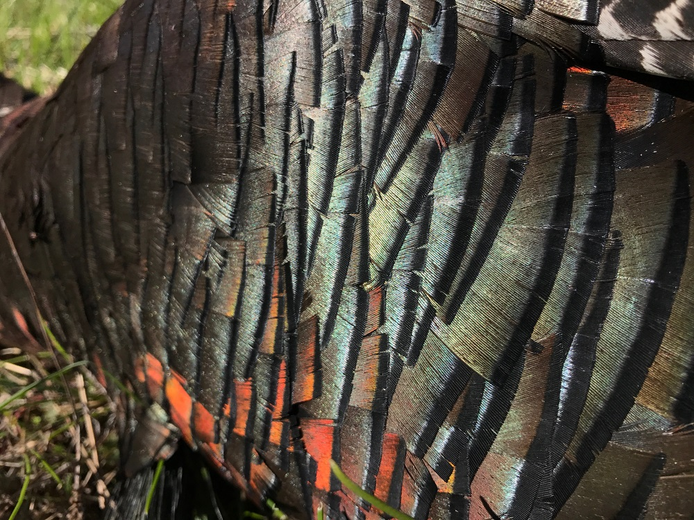 merriam turkey plumage